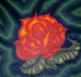 Růže z trní